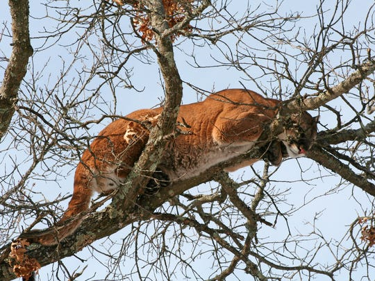 This March 4, 2009, photo, provided by the Wisconsin Department of Natural Resources, shows a cougar in a tree west of Spooner, Wis.