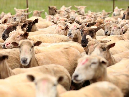 Sheep at a local farm in 2018.