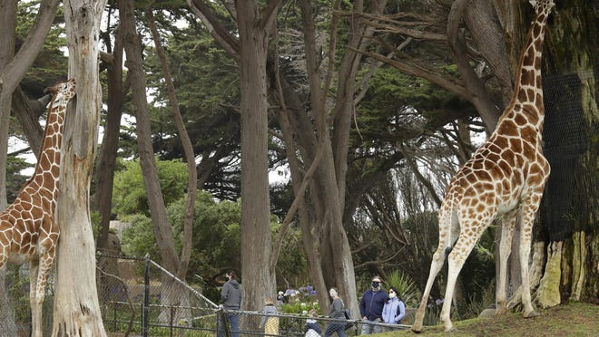 People wearing masks view giraffes at the San Francisco Zoo earlier this month in San Francisco.