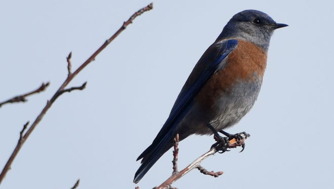 A western bluebird perches on a tree during the Audubon Christmas Bird Count in December 2015 near the Riverside Nature Center on the Animas River in Farmington. The Spring Migratory Bird Count takes place Saturday at the center.
