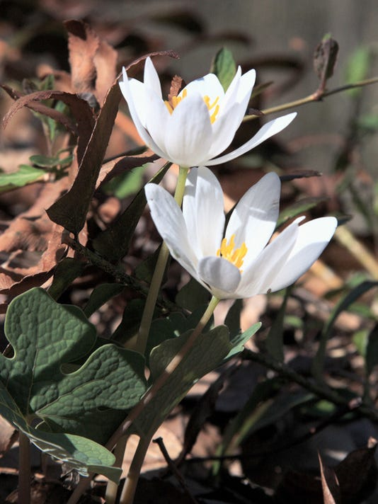 "William Greenawalt of Springettsbury Twp submitted this photo to the YDR Nature and Scenery gallery Feb. 4. Greenawalt writes, ""Another early bloomer is blood root. It can be found in wooded areas in early spring. If the stem is broken, it will yield an orange juice. ""  Submitted"