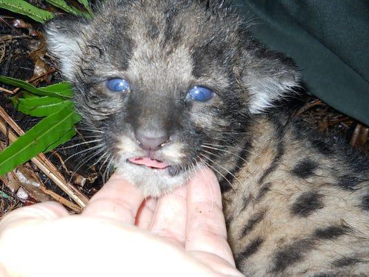 635785336996896552-052611panther-kitten