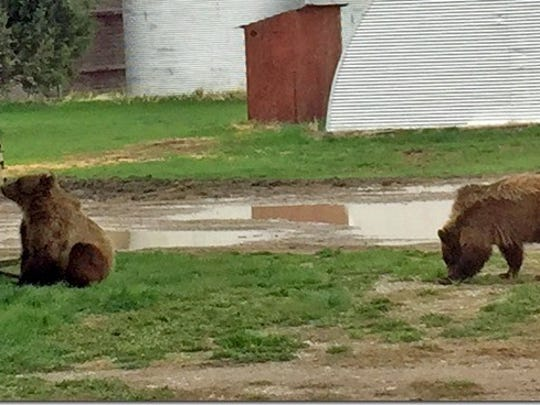 Two young grizzly bears were spotted on the property of Linda and John Holden near Valier in 2018.