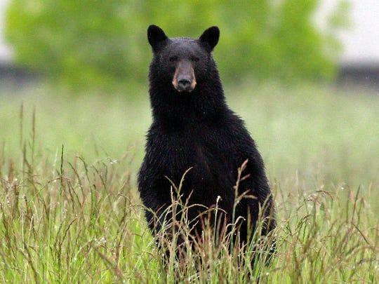 New Jersey has extended the black bear hunt for four days. Hunting will resume on Wednesday.