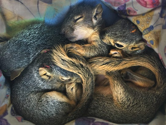 Baby squirrels at the California Wildlife Center.
