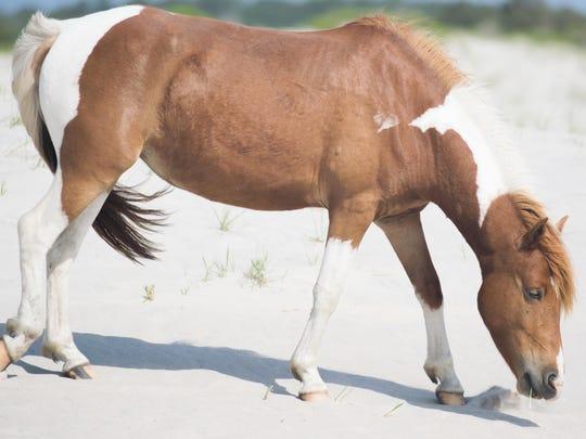 rp Assateague ponies (3 of 3).jpg