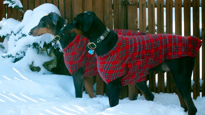 In this Friday, Jan. 2, 2015 photo provided by Karen Vesk, her two Doberman Pinschers wear plaid coats that she sewed, in Erie, Penn. Dobermans, and greyhounds, are among the larger breeds that need to wear an extra winter coat to stay warm outdoors.  Find patterns at fabric stores or search online, such as at Pinterest, for do-it-yourself instructions that repurpose sweaters, turtlenecks and T-shirts into warm doggy wear.