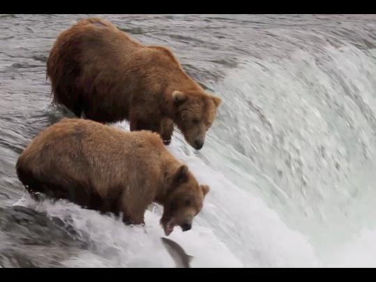 Two brown bears catching salmon at Brooks Falls in Alaska's Katmai National Park.