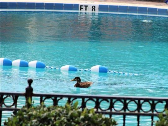 A duck has the pool all to itself at the Seahorse Oceanfront Inn at Neptune Beach on March 14, 2017.