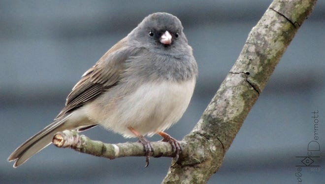 """Dark-eyed Juncos, which also are commonly called """"snowbirds,"""" are seen at more bird feeders and bird-feeding set-ups throughout North America than any other type of bird."""