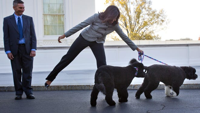 First lady Michelle Obama is pulled away by her dogs Bo and Sunny after welcoming the Official White House Christmas Tree to the White House in Novermber. Sunny, the Portuguese water dog who joined fellow first dog Bo and the Obama family in 2013, has housetraining issues.