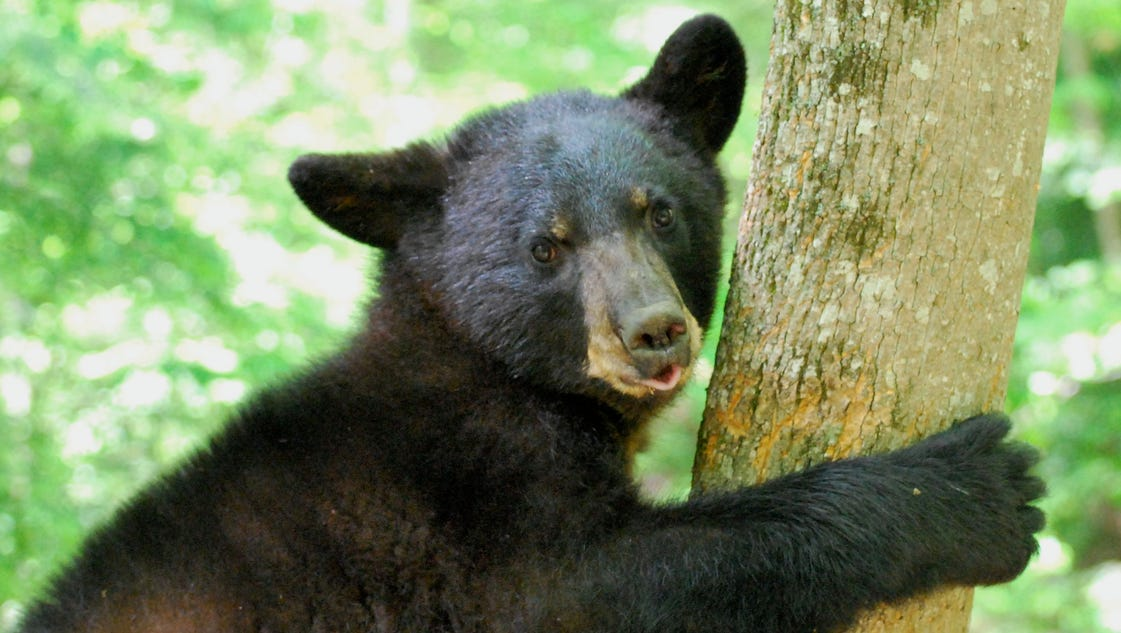 5 things to know about bear sightings in kentucky and indiana