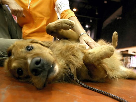 Sally Walker, Carrollton, strokes her Golden Retriever, Spider, chest as she tries to relax him at the American Bank Center in 2017.