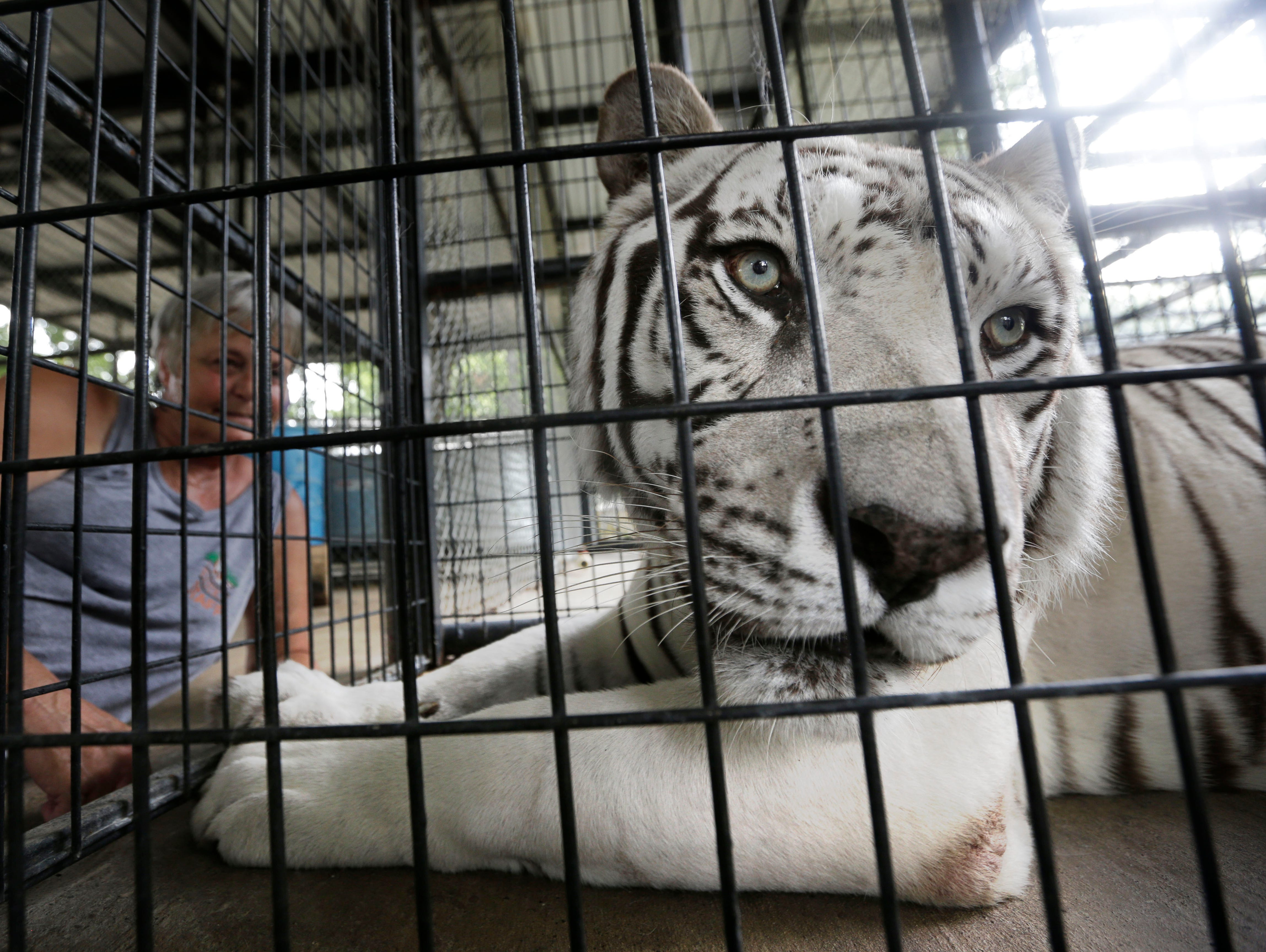 Tiger distemper