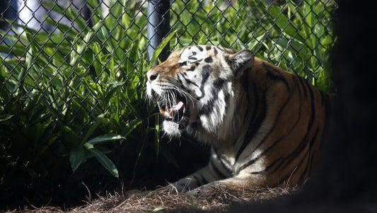 Mike VI, LSU's live tiger mascot, was euthanized Monday.