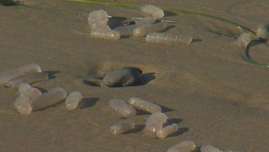 Pyrosomes are washing up on the Oregon Coast.