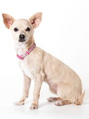 Harley, a 3-month-old female Chihuahua mix puppy. No. 92165