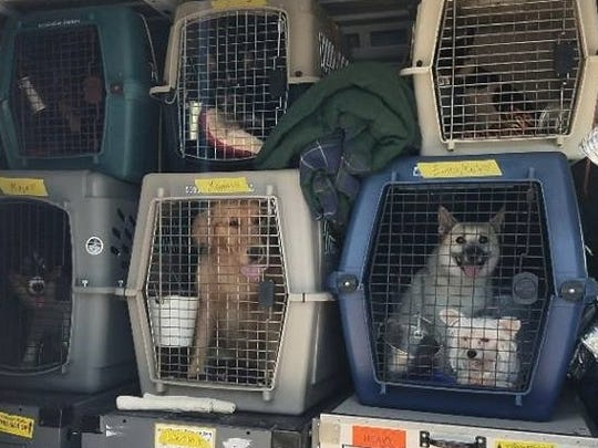 The show dogs wait in their kennels after they were rescued in a stolen van Thursday outside Redding.
