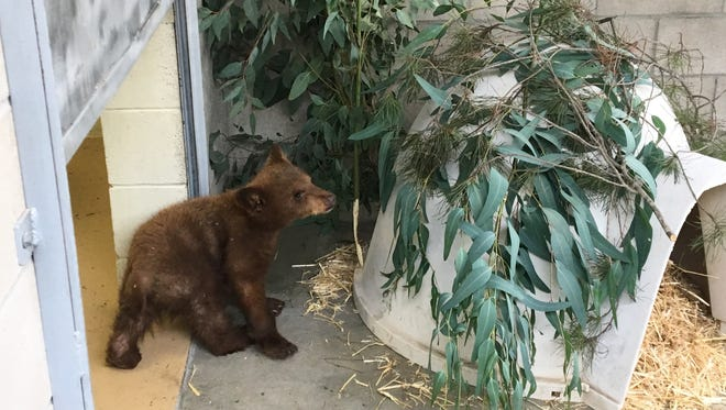 A bear cub found on a ranch near Ojai is being cared for in a Ramona wildlife center.