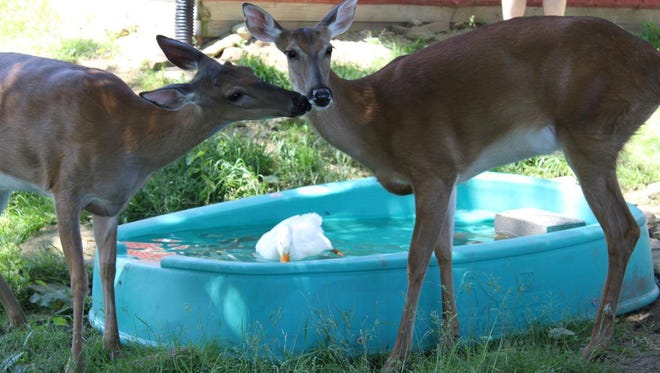Patch, left, and Trooper are two deer adopted by Carol Deyo and her boyfriend Andy Black. A new bill would allow people to care for injured deer in registered sanctuaries.