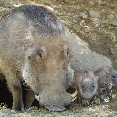 A pair of warthog piglets were born last month at The Living Desert in Palm Desert.