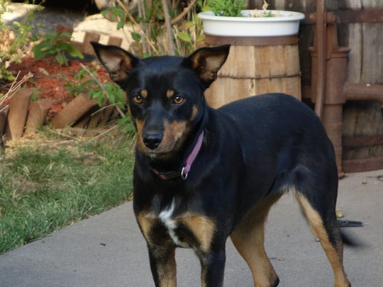 Bonnie is about a year old and 33 pounds. She and her son Clyde are Kelpies. They were found abandoned at the edge of an alfalfa field.  Although originally skittish and shy, they are now social and trusting. Bonnie walks well on a leash and is house and crate trained. She likes to go for rides and does well around other dogs. Ideally the two could be adopted together. Bonnie is OK around the cat at her foster home. Adoption fee is $75.  Both dogs are spayed, microchipped, current on heartworm prevention and vaccinations. Call SNIPPP at 336-6006. Go to www.snippp.org.