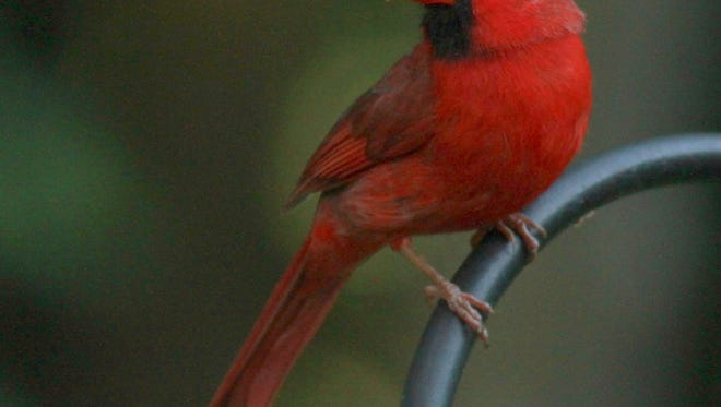 A northern cardinal chilling near a feeder.