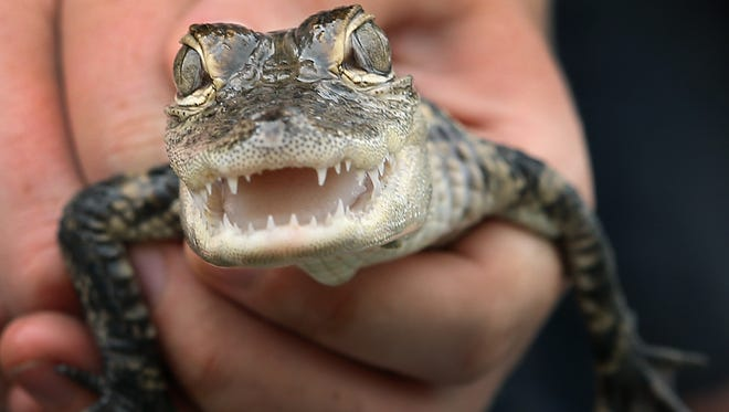This foot-long aligator was among the animals. Muncie Animal Control officers raided a storefront turned residence that contained many exotic animals and hundreds of mice and rats.