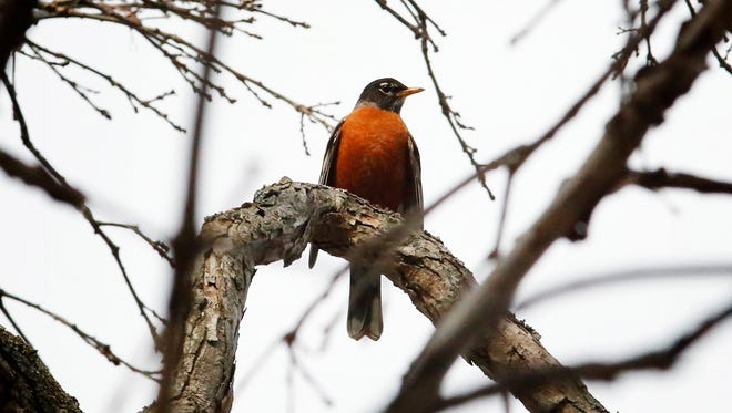 A robin sits perched in a tree Wednesday afternoon at Big Flats Community Park.