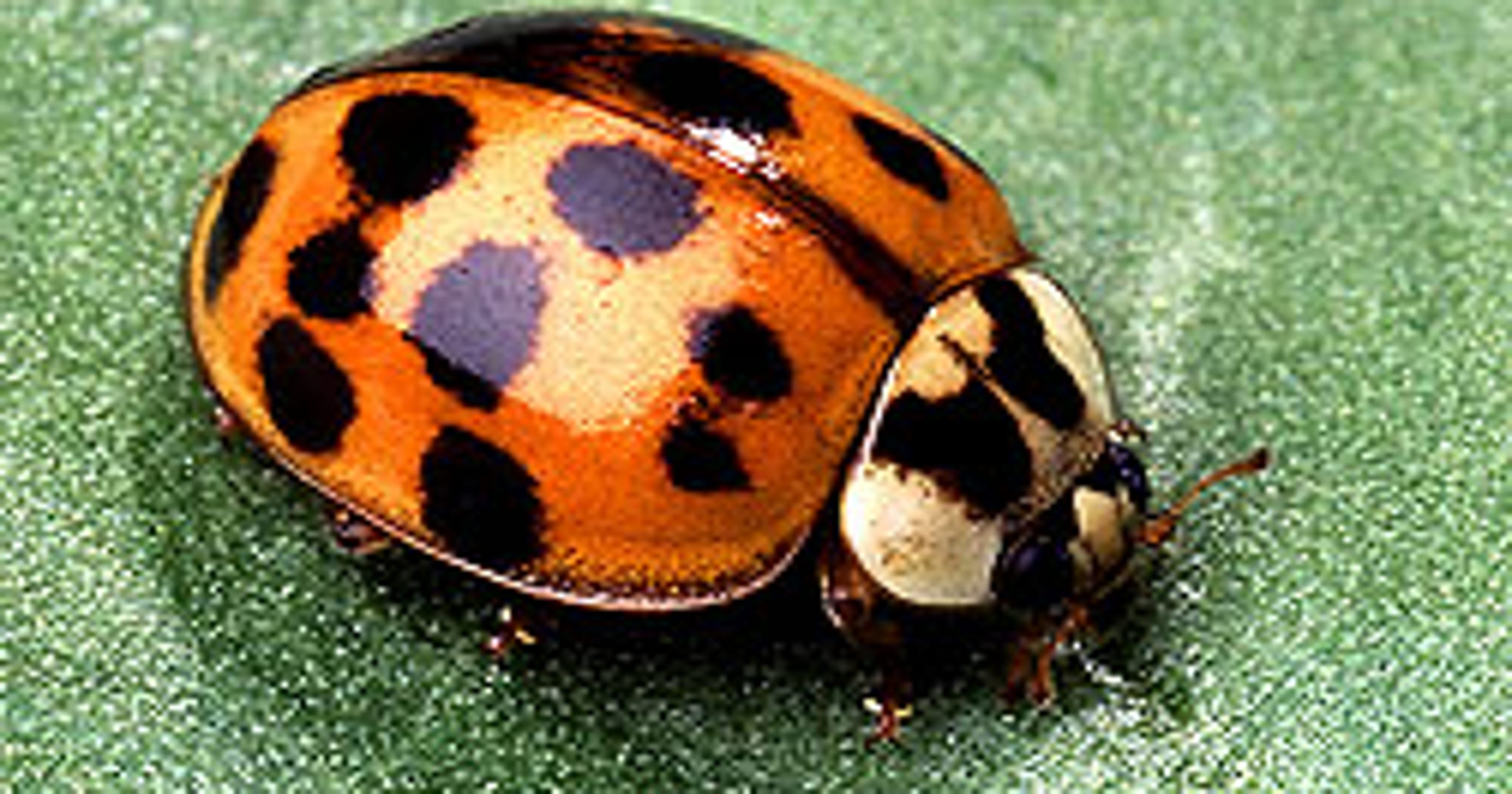 Asian lady beetles are invasive insect bullies that stink, bite