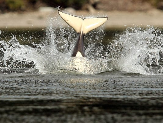 An small orca's tail is visible after it breached near one of the buoys near the Liberty Bay Marina on Thursday, July 18, 2013. (MEEGAN M. REID / KITSAP SUN)