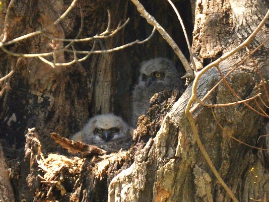 great-horned owlets2 cp.jpg