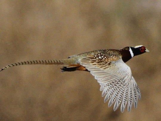 A grown pheasant.