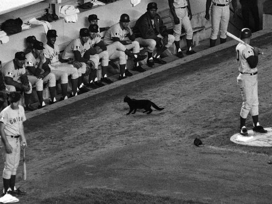 In this Sept. 9, 1969, file photo, a black cat stands in front of the Chicago Cub's dugout during the first inning of a baseball game against the New York Mets in New York.