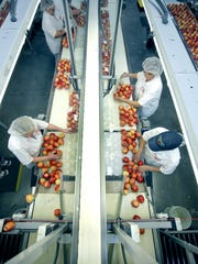 Workers pack Premium Gala apples at Empire Fruit Growers Co-op in Wolcott.