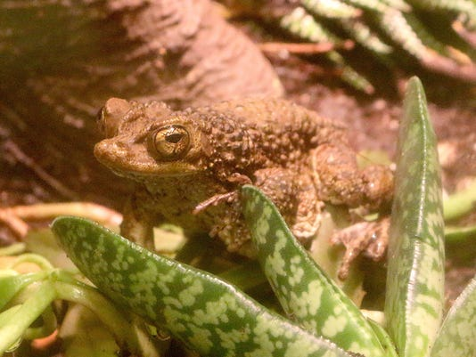 636354705104706925-Puerto-Rican-Crested-Toad-1---Jennie-Miller.JPG