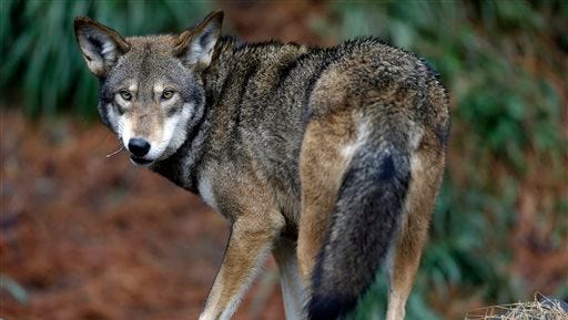 A male red wolf enjoys a feeding in its habitat at the Museum of Life and Science in Durham. Federal officials said Tuesday that they won't release any more endangered red wolves in eastern North Carolina while they study the viability of the only wild population of the species.