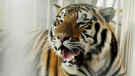 In this Oct. 6, 2007, file photo, LSU mascot Mike VI, a part Bengal and Siberian tiger, sits in his cage on the field for his first time before an NCAA college football game between LSU and Florida in Baton Rouge, La. The university said in a statement Monday, May 23, 2016, that Mike VI has a tumor in its face near its nose but doesn't appear to be in pain. (AP Photo/Alex Brandon, File)