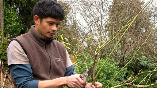 In this Feb. 12, 2014 photo, Rizanino (Riz) Reyes, a horticulturist, gives a rose bush some last-minute pruning before putting it in the ground. Avoid plants that need to be pruned for anything beyond minor cosmetic touches.