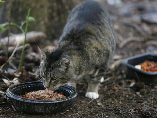A cat eats food left by John Baranowski, of New Castle, on Friday. State lawmakers are considering legislation to loosen rules on caring for feral cats, in hopes of encouraging more spaying and neutering.