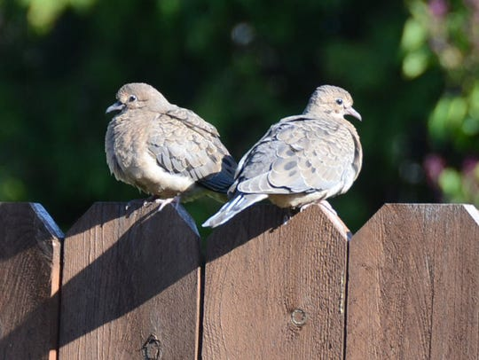 Two mourning doves sit on a fence in a yard in Hazleton,