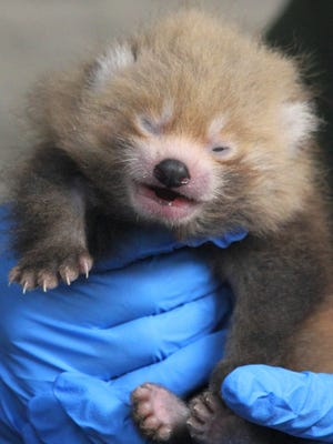 Baby red panda cub was born at Buttonwood Park Zoo about a month ago and made its debut during a special live video feed annoucement on Tuesday.