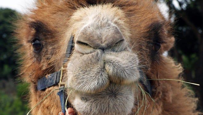 Kenji, a Bactrian camel