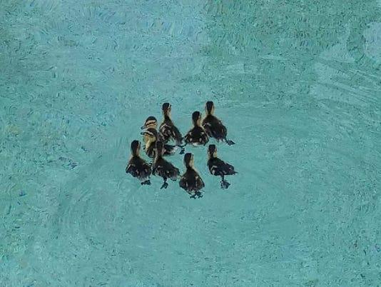 Ducklings rescued in Scottsdale