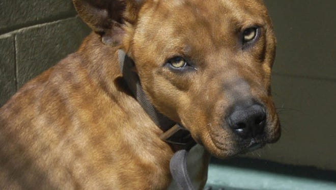 A pit bull dog quarantined at the Mississippi Animal Rescue League in Jackson in 2010.