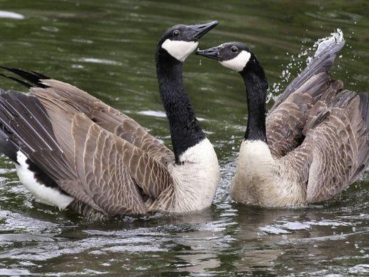 ap_canada_geese-4_3.jpg