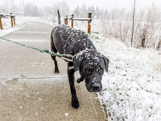 Pea Joe goes for a walk with his owner, Matt Prange, as snow falls April 16 in Fort Collins.