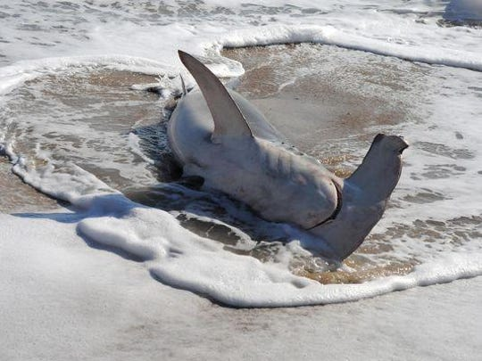 A Hammerhead Shark washed ashore the beach at Fenwick Island on Monday. Earlier, it had given birth in Ocean City.