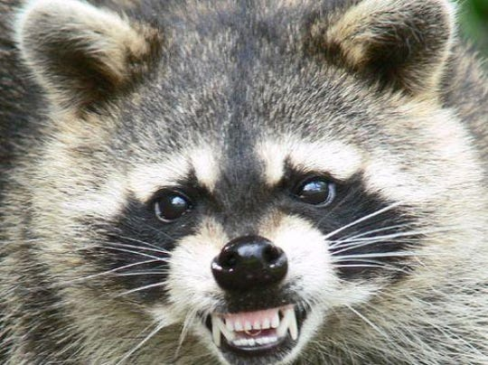 An aggressive acting raccoon, similar to this animal, was spotted in Onancock, VIrginia on Thursday, Jan. 17, 2019.