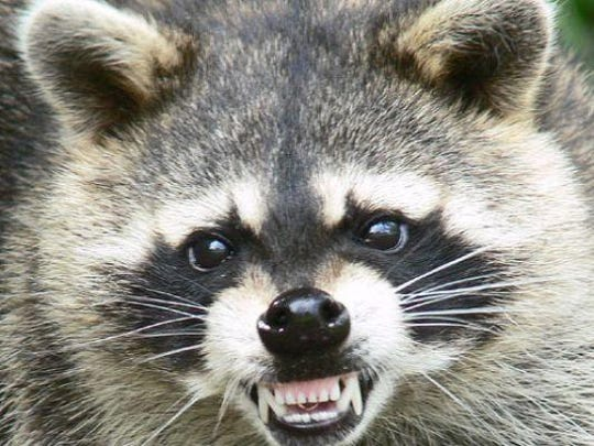 A raccoon in Wicomico County, similar to this animal, has tested positive for the rabies virus.